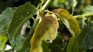 Avocado Tree Killer On The Move In Florida