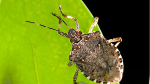 Scouting Tips For Growing Grape Pest Threat