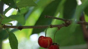 Researchers Study Why Cherry Cracking Affects Different Varieties