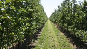 Large Washington Tree Fruit Companies Compelled to Sell Out