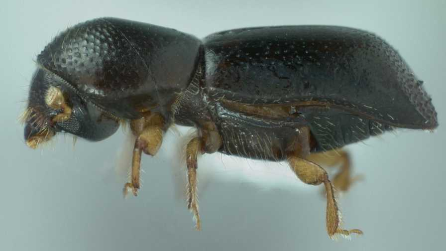 Extreme close-up of redbay ambrosia beetle