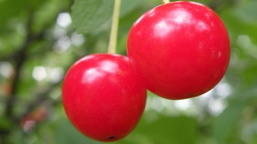 Tart  Cherry Growers Cheer for Tariff on Imported Juice