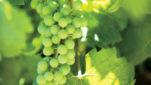 Washington Grape Growers Could See Early Harvest