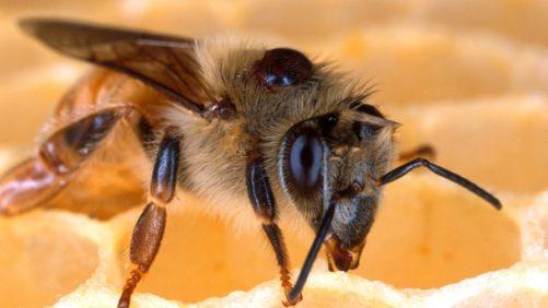 Bees May Accidentally Bring Varroa Mites Into Their Hives