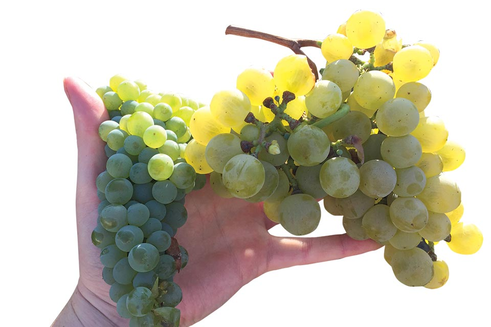 While harvested on the same day, these two heat-loving white winegrapes, Greco di Tufo (left) has dramatically different berry size than Perera (right). (Photo credit: Lindsay Jordan, UCCE)