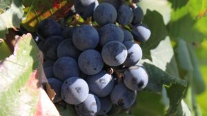 Largest Winegrape Show in Western World Draws Nearly 14,000
