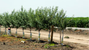 New Tool Calculates Almond Orchard Water Needs