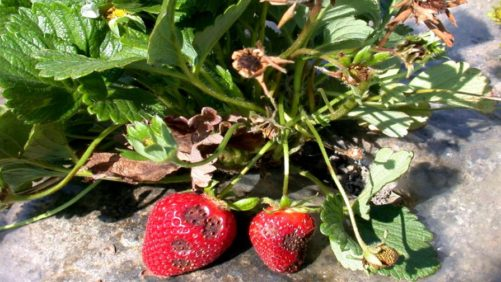 Southeastern Strawberry Growers Advised to Prepare for Disease Pressure