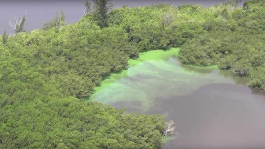 Algal bloom overtaking mangroves near Stuart, FL