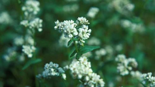 Study Shows Buckwheat Can Help Stifle Squash Pests