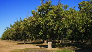 Pistachio Crop Smashes Record