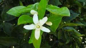 Hope Growing Around Bactericides As A Citrus Greening Solution