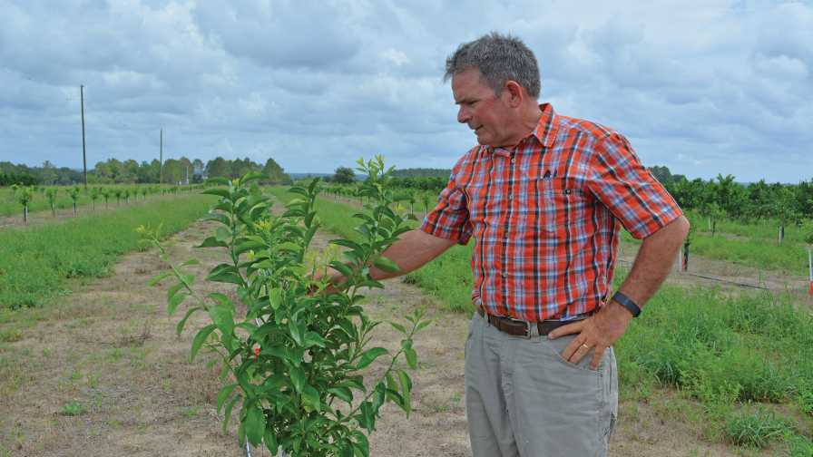 Chuck Allison of Spring Valley Farms inspects a young citrus tree