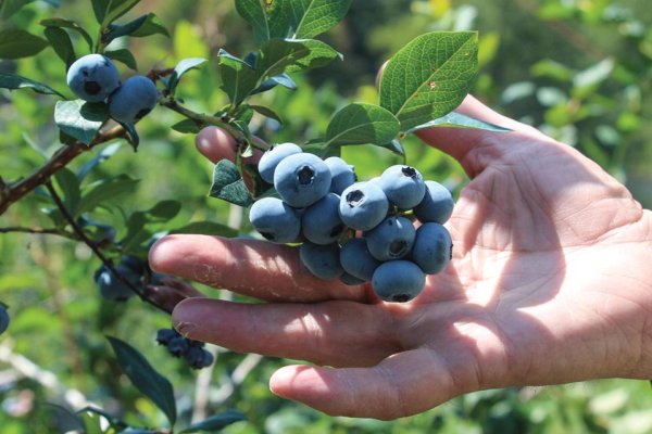 2018 a Challenging Year for Michigan Blueberries