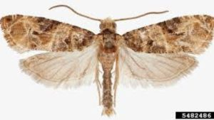 An Exquisite Extermination – European Grapevine Moth [Opinion]