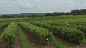 Time Is Now For Florida Blueberry Growers To Dig In