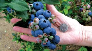 Tips To Prune For Big Blueberries