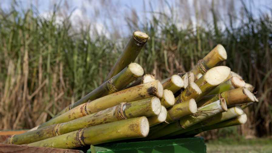 Cut sugarcane in South Florida