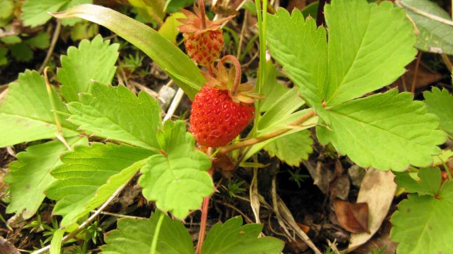University of New Hampshire scientists constructed a linkage map of the seven chromosomes of the diploid Fragaria iinumae, which allows them to fill in a piece of the genetic puzzle about the eight sets of chromosomes of the cultivated strawberry.