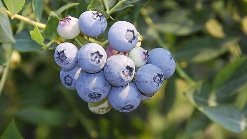New Berry Releases Hit Marks For High Yields, Mechanical Harvest