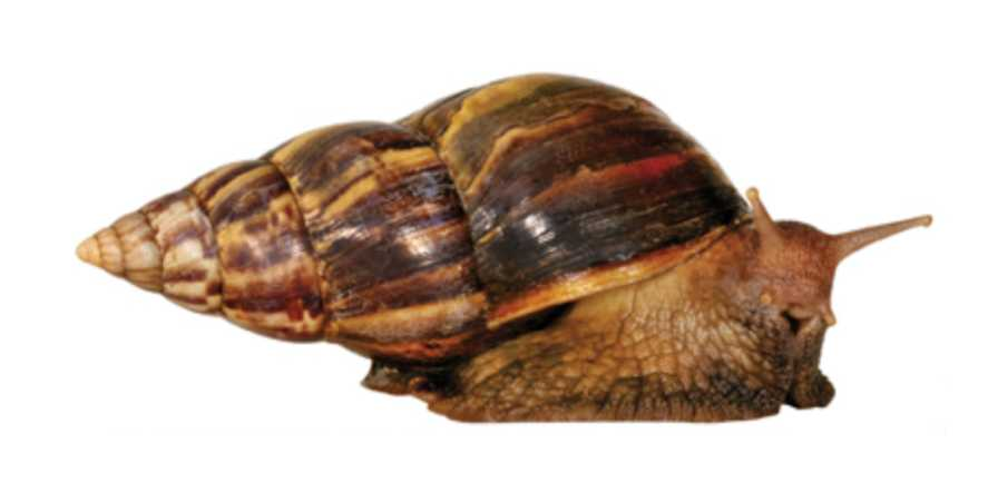 Giant African Land Snail profile