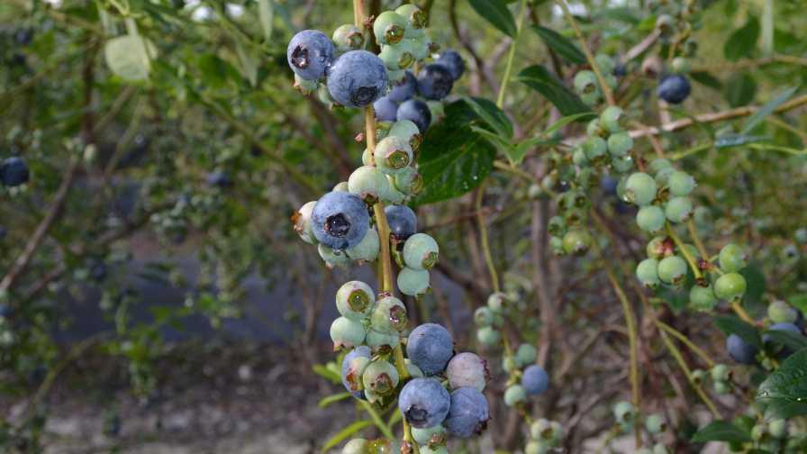 Closeup of a 'Keecrisp' blueberry cluster