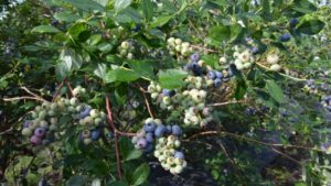 Florida Blueberry Growers Keen On Two New Cultivars