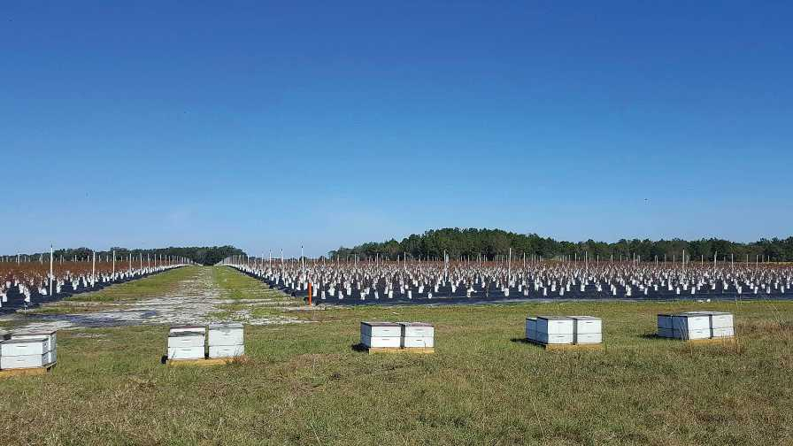 Managed bee hive boxes around a blueberry field