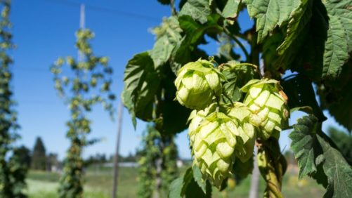 Cheers to a Record Year for American-Grown Hops