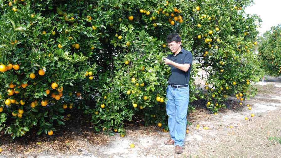 Dr. Nian Wang inspects citrus trees