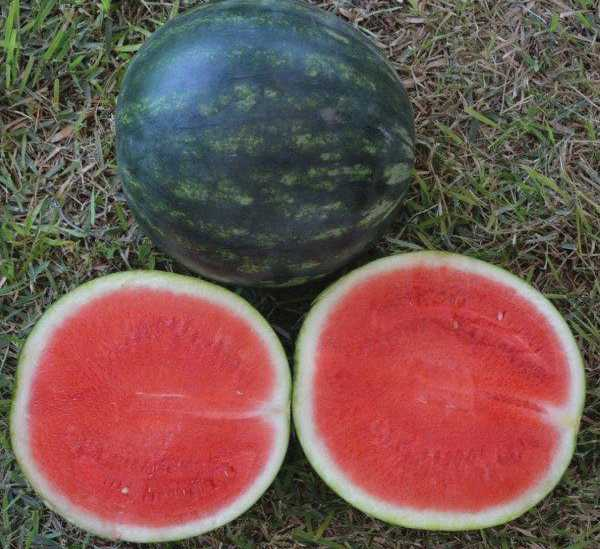 Ana watermelon from Seedway