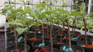 Consider Alternatives To Finished Apple Trees From The Nursery