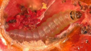 Top 3 Invasive Pests Florida Growers Need To Be Watching For