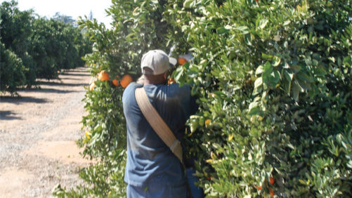 Solutions for Citrus Nurseries Struggling with Labor