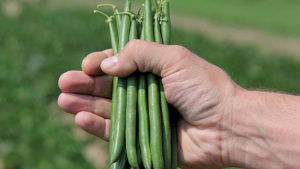 9 Bean Varieties for 2017