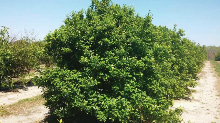 Bingo citrus tree