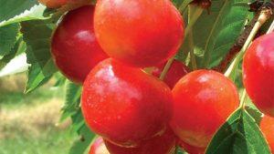 Monster Sweet Cherry Crop Expected
