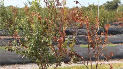 Florida Blueberry Growers Warned To Watch For New Deadly Disease