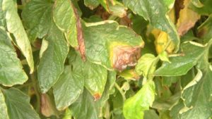 Gray Mold a Problem for Many Crops
