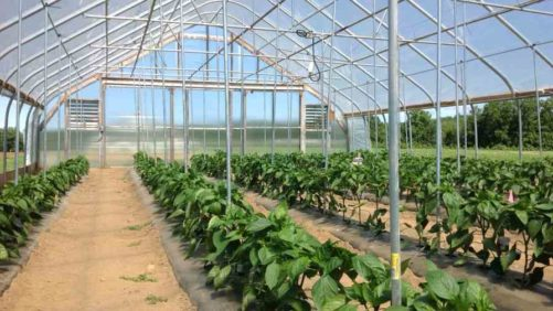 Keys To Successful Bell Pepper Production In High Tunnels