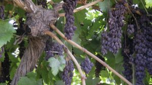 Study Investigates Savings From Naturally Drying Raisin Grapes