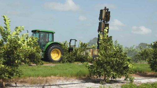 Scientists Set to See if Fungus Can Stop Asian Citrus Psyllid