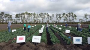 Florida Growers, Researchers Aim To Sharpen Focus On Cabbage