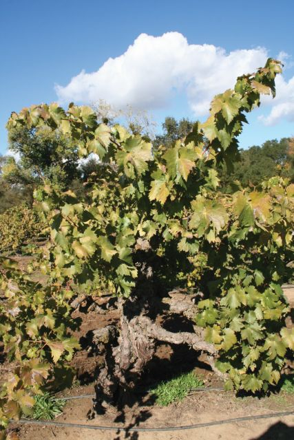 Historic grapevines have a characteristic gnarled look. (Photo credit: David Eddy)