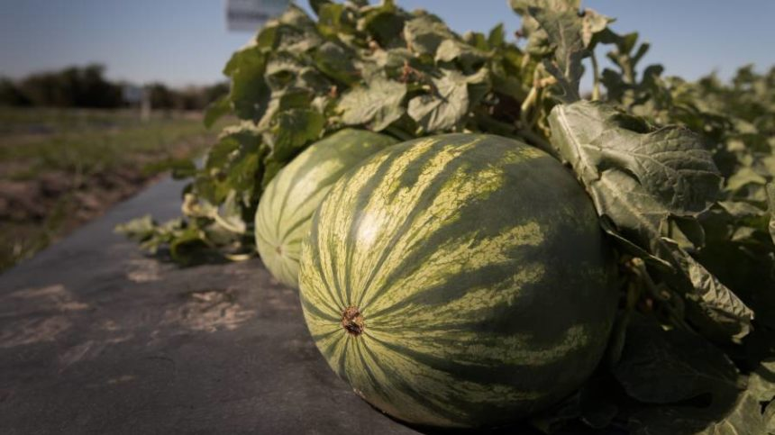 The State of Melons in the U.S. [Infographic]