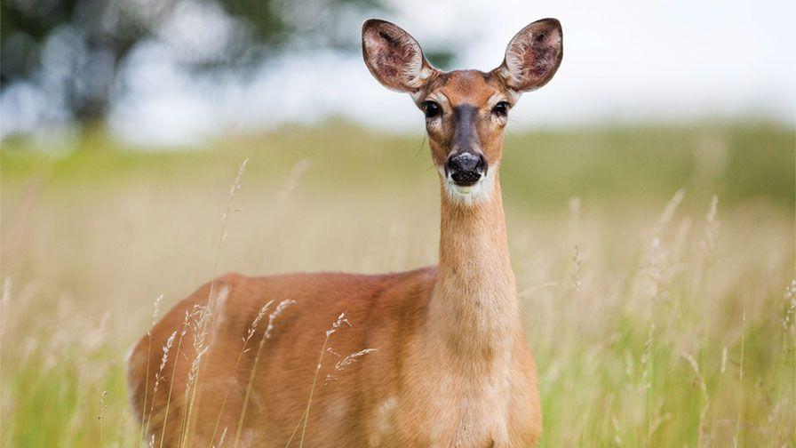 deer in a farm field