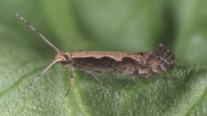 Can Genetic Engineering Put an End to Diamondback Moth Plague?