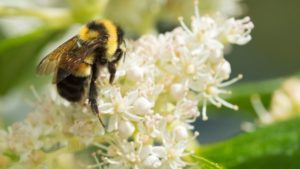 First Bee in Continental U.S. Listed as Endangered Species