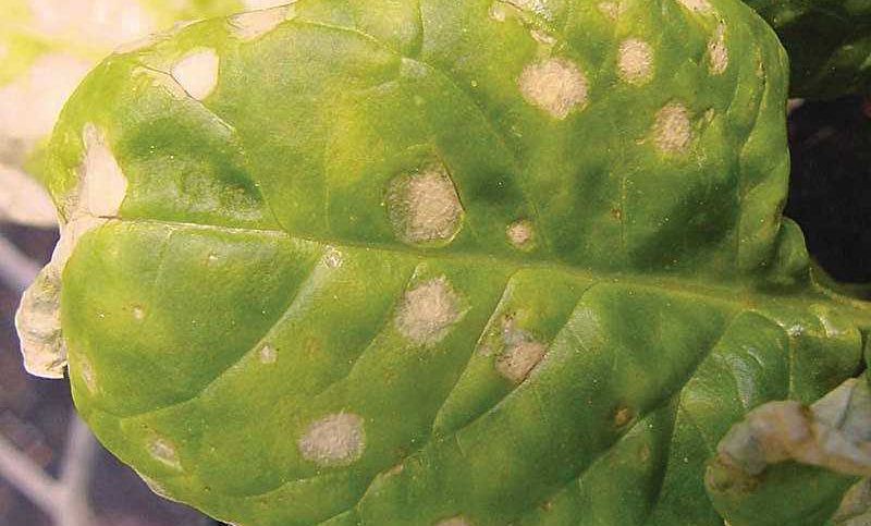 Don't Let Stemphylium Leaf Spot Stump Your Spinach Crop