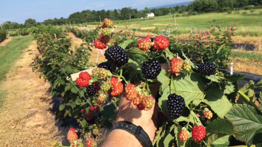 Primocane: A Major Innovation in Berry Production